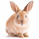 kaniini